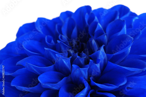 Aluminium Dahlia Beautiful blue flower close-up