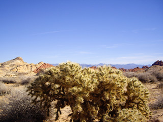 Cholla in Valley of Fire State Park Nevada