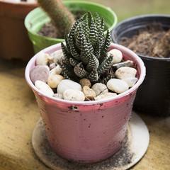 Close up cactus in a pot