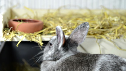 Small Grey Rabbit is eating