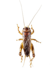 Cricket (Gryllus)  on white background.