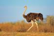 Постер, плакат: Female ostrich Kalahari desert