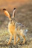 Scrub hare (Lepus saxatilis) in natural habitat