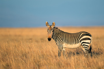 Cape Mountain Zebra in grassland