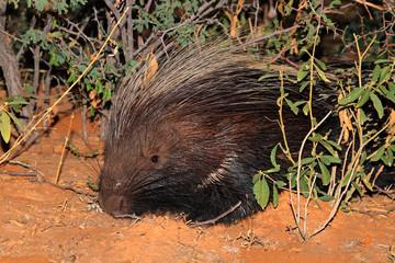 Cape porcupine in natural habitat
