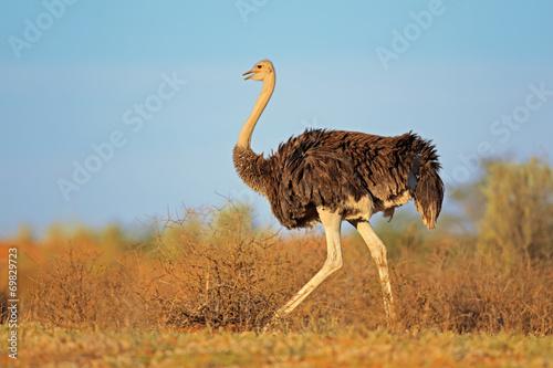 canvas print picture Female ostrich, Kalahari desert