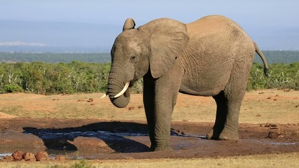 An African bull elephant at a waterhole