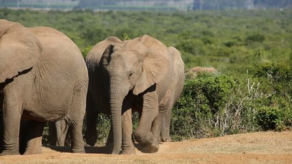 Small herd of African elephants walking