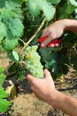 Harvest - Vendemmia
