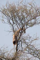 Preda del leopardo spingbock