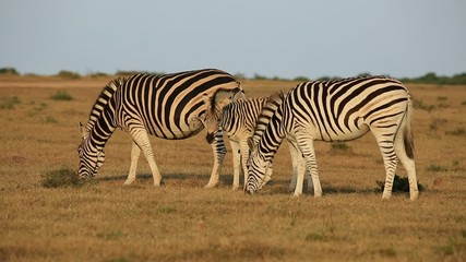 Plains (Burchells) Zebras grazing in grassland