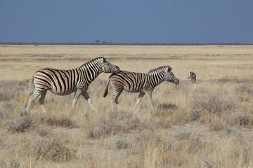 Coppia di zebre in africa