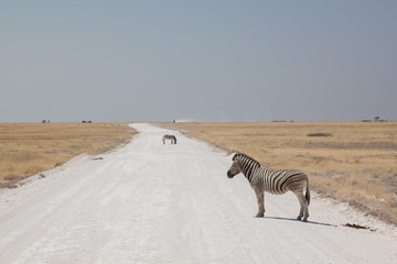 Zebre in strada