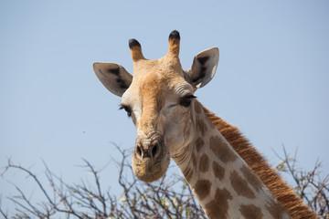Ritratto di giraffa Namibia