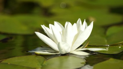 White water lily flower in a pond