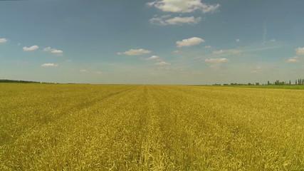 yellow  wheat field  Aerial rear slow  flight