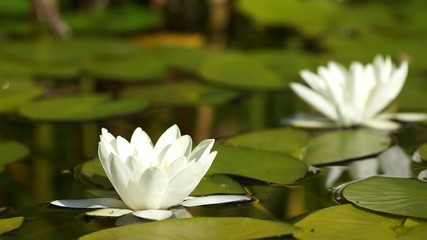 Two white water lily flowers in a pond