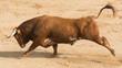 Toro Bravo Español - 69834101