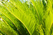 canvas print picture - Green Palm