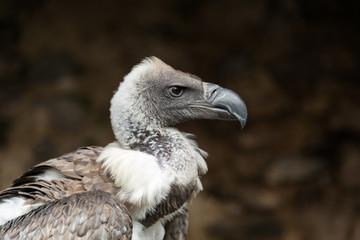 Oiseau Vautour de Rüppell