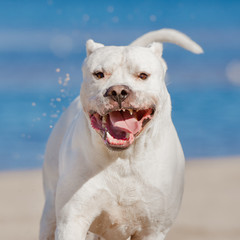 happy dogo argentino dog