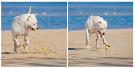 dog playing with a tennis ball