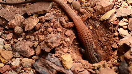 small lizard digging a hole - canyonlands