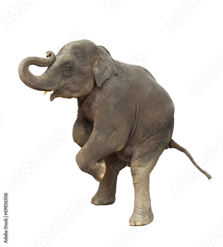Tuinposter Olifant young asia elephant kid playing lifting front legs to show isola
