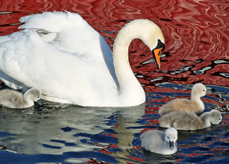 Mute Swan swimming with her cygnets keeping a watchful eye