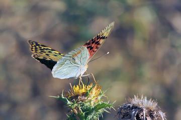Mariposa cardera argynnis pandora, Sauceda, Hurdes, España