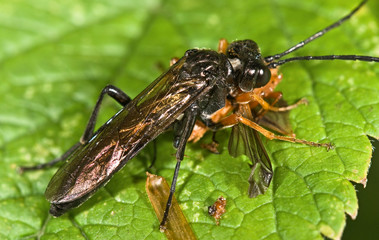 Sawfly (order Hymenoptera, Suborder Symphyta) eating an insect