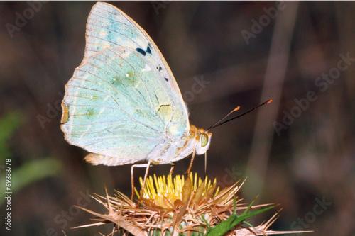 Poster Mariposa cardera argynnis pandora, Sauceda, Hurdes, España