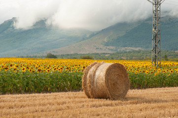 Straw bales in the harvested fields and sunflowers