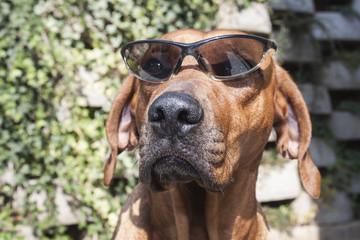 Rhodesian ridgeback with sunglasses, detail, funny photo