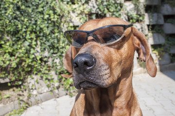 Rhodesian ridgeback with sunglasses, detail, funny photo