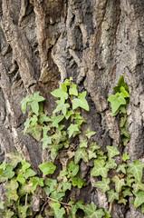 oak bark and ivy