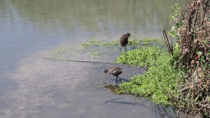 Feeding Juvenile Moorhens