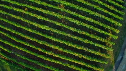 Vineyard aerial ascent shot