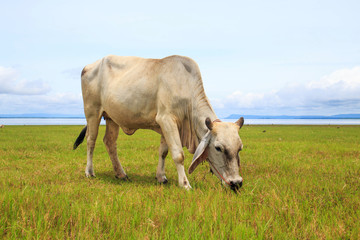 Cow on green grass and blue sky