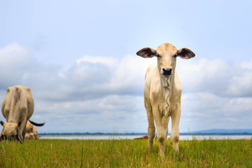 pretty little calf standing  in green pasture