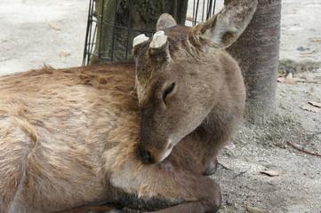 鹿/Japanese deer