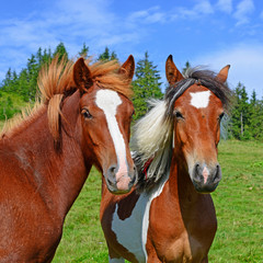 Horses on a summer pasture