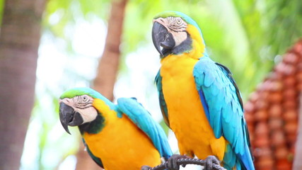 group of shouting aggressive colorful parrot macaw