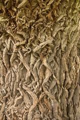 Highly detailed oak bark texture