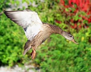 Mallard duck female preparing to land