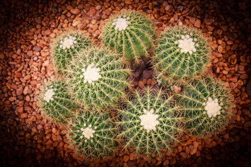 closeup of echinocactus grusonii , a kind of cactus