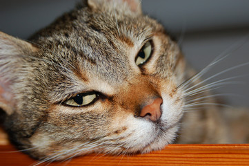 tabby cat leaning on a wooden board