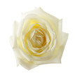 canvas print picture - white rose isolated on the white background
