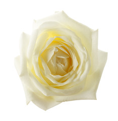 white rose isolated on the white background