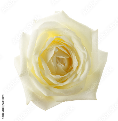 canvas print picture white rose isolated on the white background